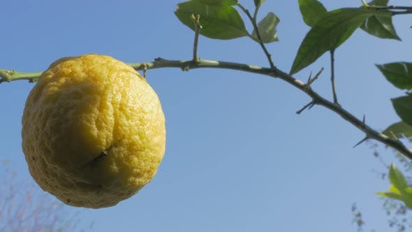 Cultivated lemon fruit tree 4K 3840X2160p UHD video - Lemon fruit cultivated in  continental Eastern