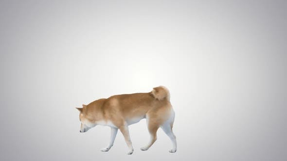 Thumbnail for Red Dog Shiba Inu Walking und Sniffing auf Farbverlaufshintergrund