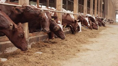 Cattle Feeding in Barn