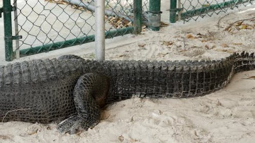 Aligator in sand area by a fence