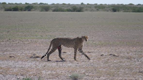 Cheetah walks on the savanna