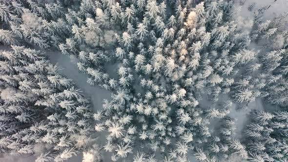 Flying Directly Above Large Cold Forest in Epic Morning Light at Winter