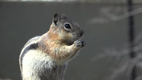 Golden-mantled Ground Squirrel Adult Lone Eating Feeding in Spring