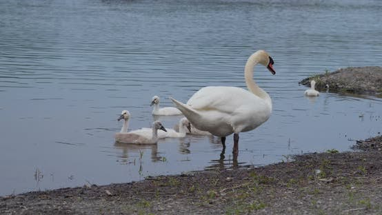 Thumbnail for Family of swan swim at pond
