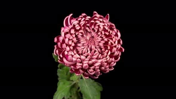 Beautiful Pink Chrysanthemum Flower Opening