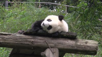 Panda laying on a wooden roof showing his tongue