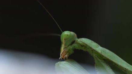 Macro shot of the praying mantis.