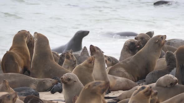 Close up from a group sea lions on the beach