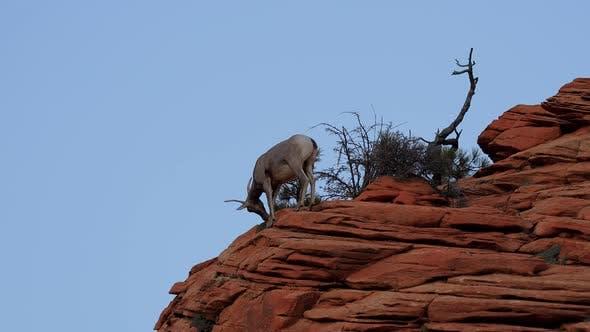 Wild Bighorn Sheep in Zion National Park