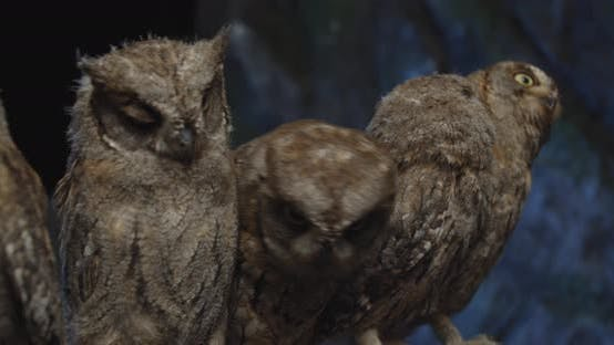 Adorable Baby Owls Sitting on a Branch at the Studio, Wildlife,