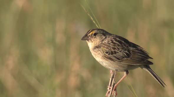 Thumbnail for Grasshopper Sparrow Songbird Calling Singing Song in Summer in Prairie