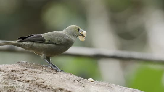 Thumbnail for Palm Tanager Adult Lone Eating Feeding Banana in Panama