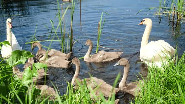 Thumbnail for Slow Motion Video of Feeding Big Mute Swan Family with Bread in Park with Bread