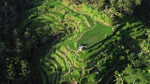 Agricultural Landscape From the Air. Rice Terraces in the Summer. UNESCO World Heritage - Jatiluwih