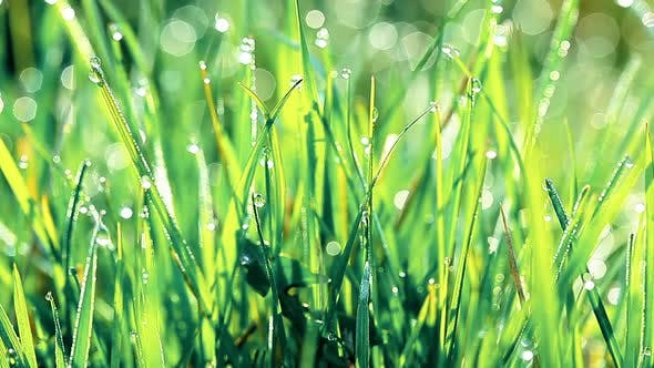 Thumbnail for drops of dew on a green grass