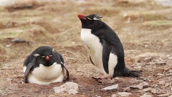 Rockhopper Penguin Falkland Islands
