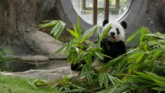 Thumbnail for Panda eat bamboo at park
