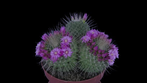 Time-lapse of blooming pink cactus buds