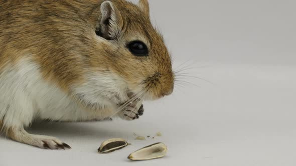 Thumbnail for a brown and white gerbil eating a pipe on white background