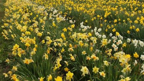 Field of daffodil flowers