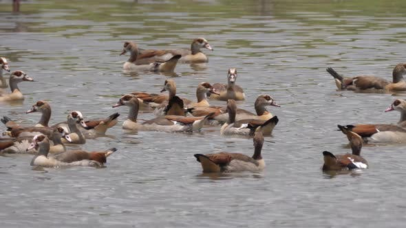 Group of Egyptian Goose in a lake