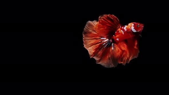 Colorful Siamese Fighting Fish Betta Splendens 11