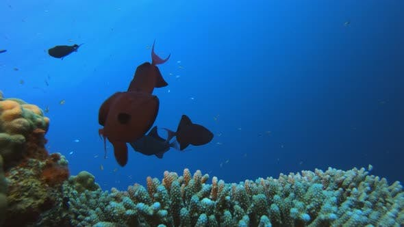 Thumbnail for Tropical Blue-green-fish and Red-tooth Trigger-fish