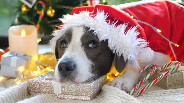 Thumbnail for Santa Dog With Gifts Waiting For Christmas Celebration