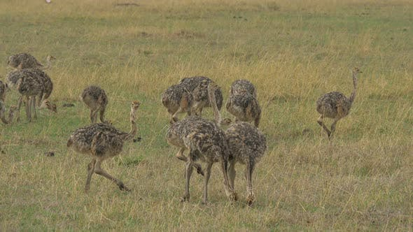 Thumbnail for Ostrich chicks in Maasai Mara