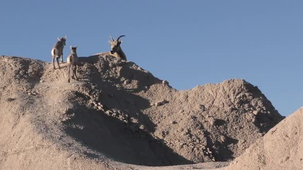 Bighorn Sheep Ewe Female and Fawn Kid Lamb Young Baby Bonding Affection in Badlands
