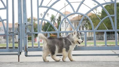 Siberian Husky Puppy Walking Outdoor