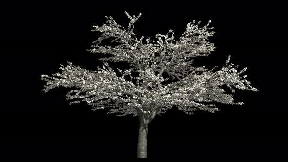 Thumbnail for Cherry Tree Blossom