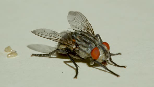Thumbnail for Macro Shooting. Fly on a White Background Close-up.