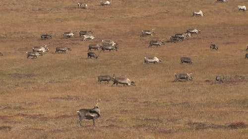 Caribou Male Female Adult Young Herd Many Walking Moving in Autumn Migrating Migration