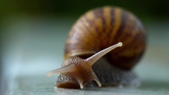Cover Image for Garden Snail Crawling, Macro