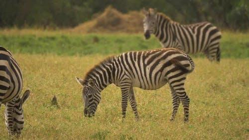 Common zebras grazing