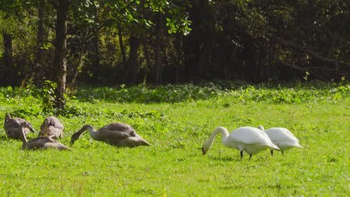 Swans parents and their children on the lawn