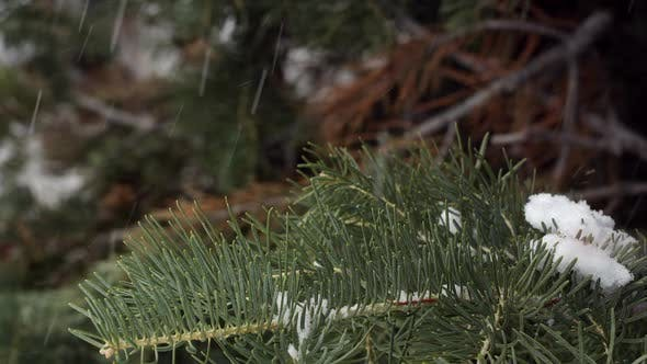 Thumbnail for Close up view of pine tree as snow falls.