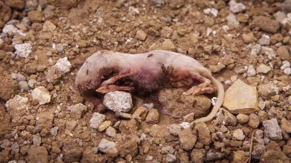 Thumbnail for Ants Eating Dead Mouse