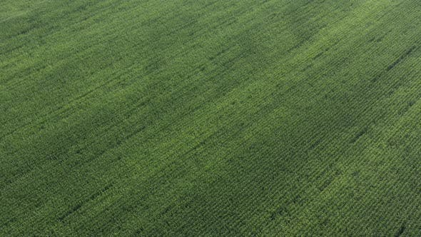 Corn field crop from high altitude 4K aerial video