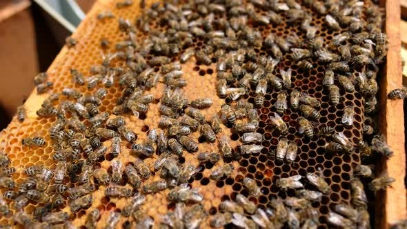 Thumbnail for Bees Work on Empty Honeycomb
