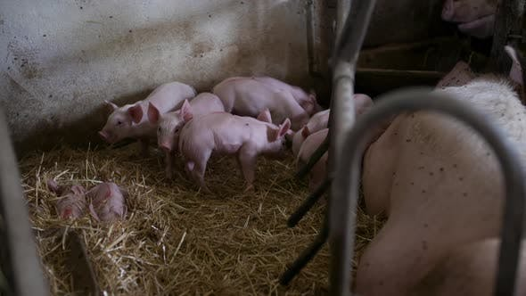Thumbnail for Pigs, Piglets on Livestock Farm