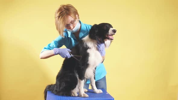 Thumbnail for Woman with Scissors Makes Grooming Dog at Salon