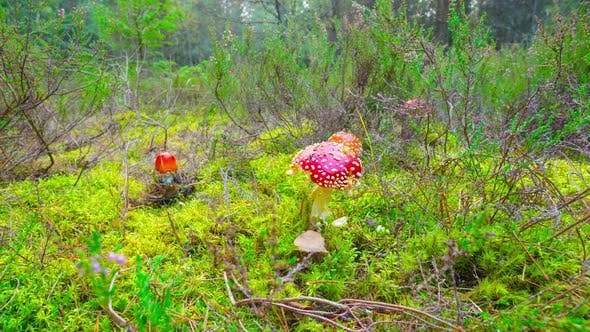 Red Fly Agaric in Autumn Forest