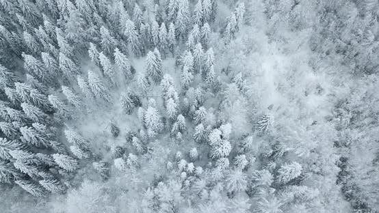 Thumbnail for Aerial Top Down View of the Fir Forest Covered the Snow