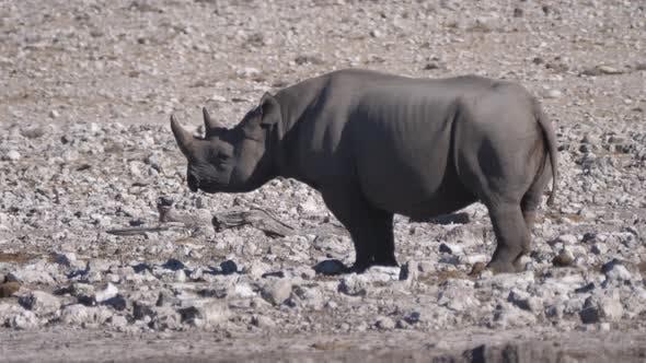 Lonely rhino standing on a rocky savanna