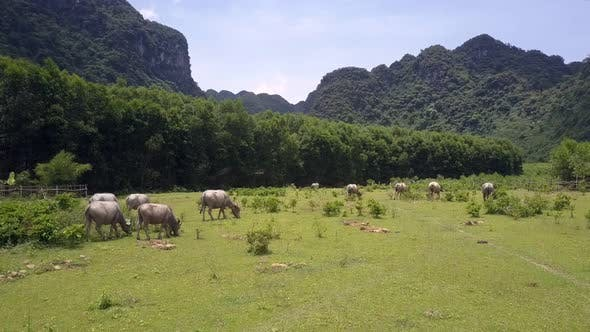 Rural Land with Grazing Water Buffaloes at Wood Aerial View