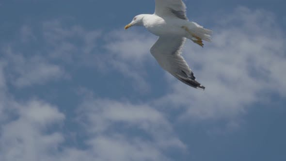 Seagull Fly Close Up