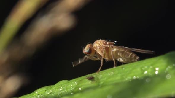Fly Of Sciomyzidae Family