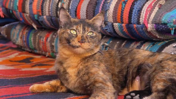Thumbnail for Gray Fluffy Cute Cat Lies on Colorful Pillows in Arabic Cafes or Hookah with Trestle Beds